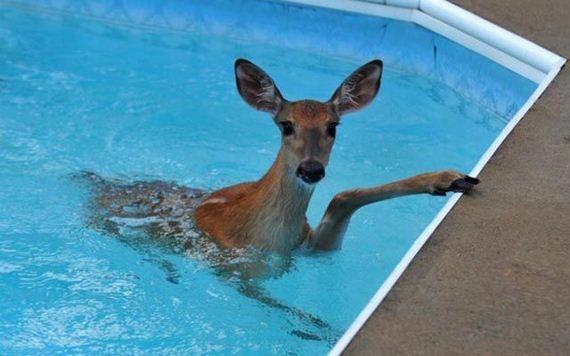 Олень нырнул в бассейн, чтобы спастись от пумы