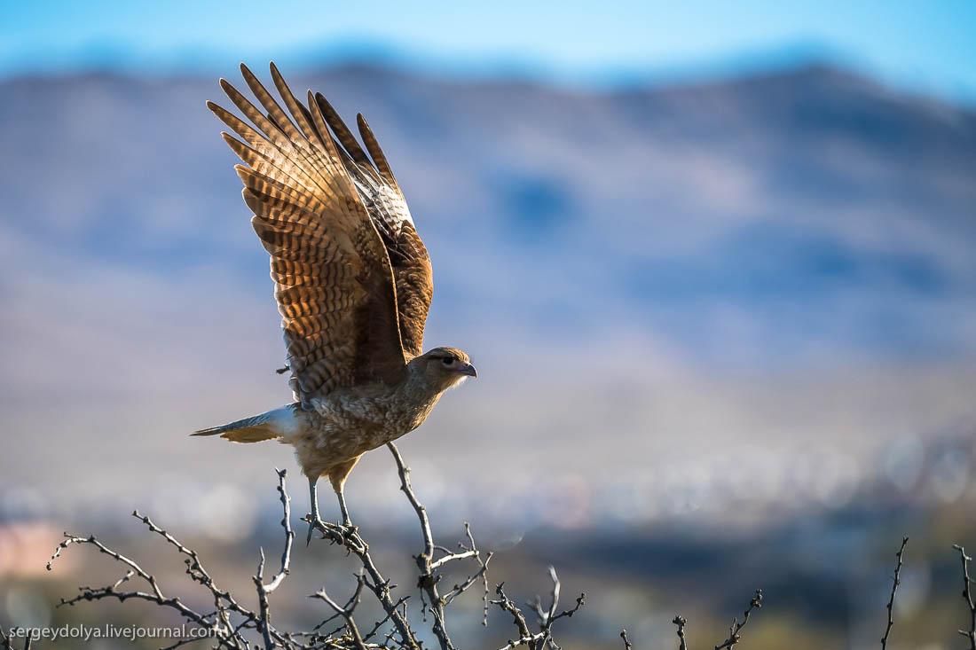 Птицы Патагонии