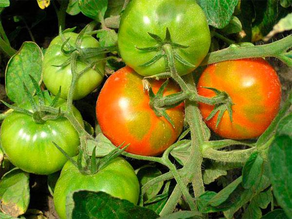 Почему помидоры не торопятся…