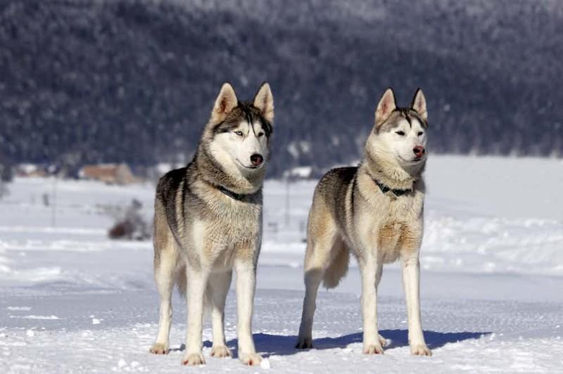 9. Самая любимая порода собак во всем мире сибирь, факт