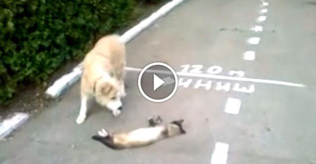 Увидев собаку, кот тут же притворился мёртвым