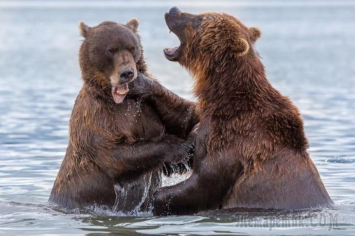 Первозданная Камчатка или земля медведей.