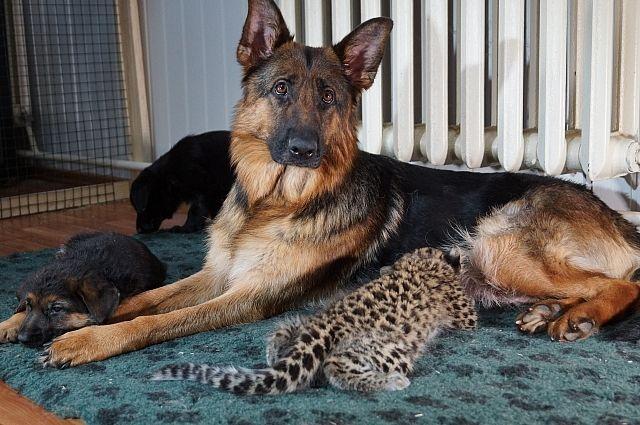 Как овчарка выкормила леопарда и приучила его к людям