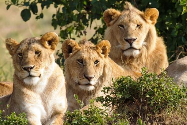 Львы и киднеппинг Двенадцатилетняя Кэри подверглась нападению четырех мужчин по дороге из школы. По счастью, дело происходило в Эфиопии — на помощь девочке пришли три льва, которые отогнали похитителей. Более того, спасители оставались с испуганной малюткой до прибытия полиции.