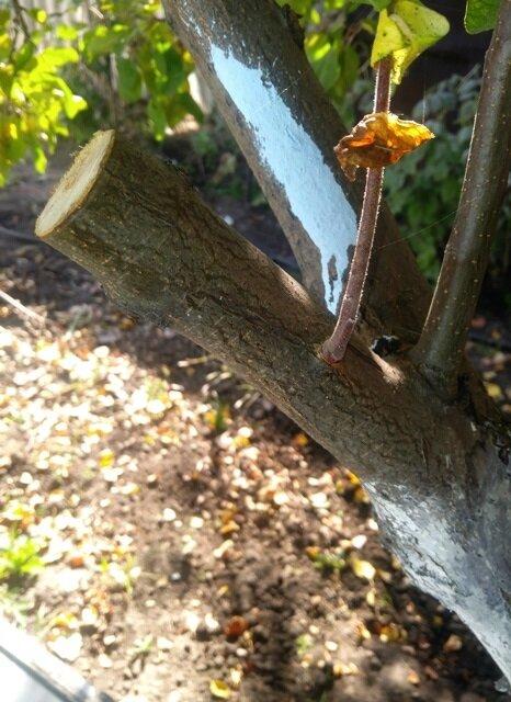 Как правильно спиливать ветки на плодовых деревьях