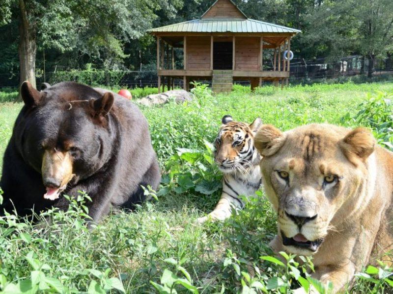 Тигр, лев и медведь – лучшие друзья на протяжении 15 лет. Их трагическая история покорила Сеть!