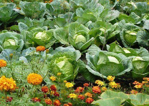 Совмещенные посадки – секрет здоровых овощей