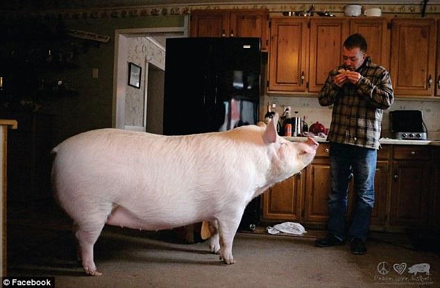 «Карликовая» свинья выросла до 300 килограммов, вынудив хозяев купить новый дом