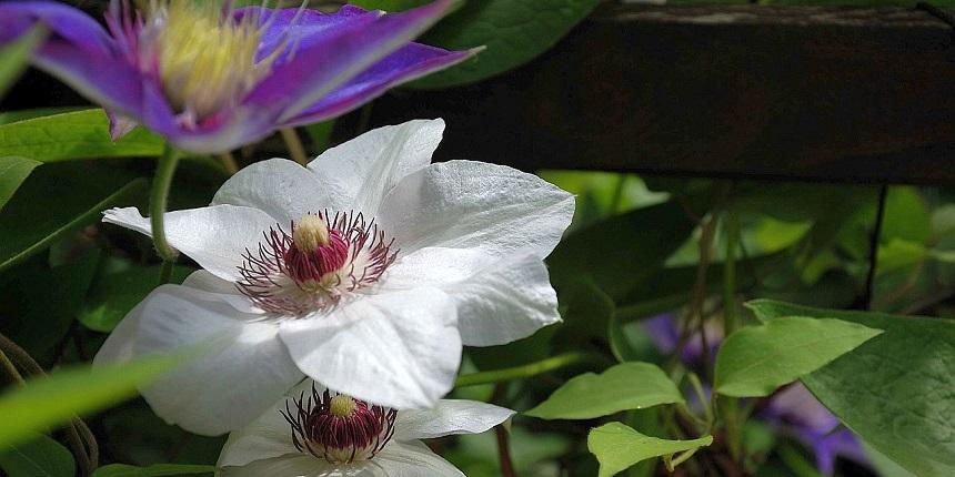 Клематис - цветущая лиана.