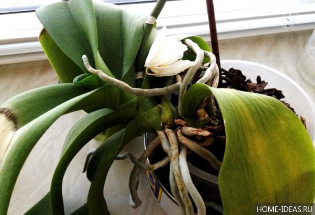 Болезни орхидей в домашних условиях фаленопсис