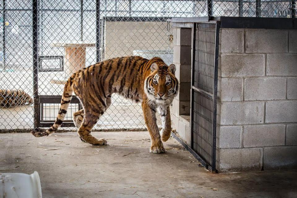 У этого истощенного тигра началась новая счастливая жизнь!
