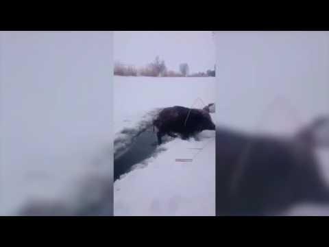 Спасение диких поросят