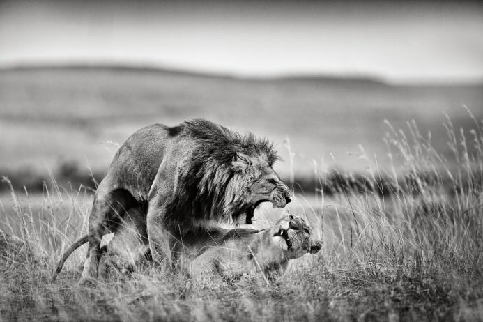 Семейные драмы случаются даже в саванне. Национальный парк Масаи-Мара, Кения