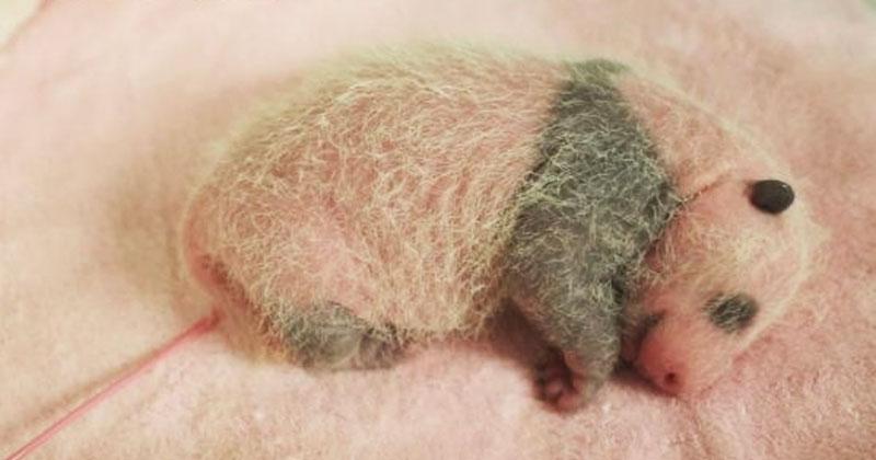 Этот детеныш панды только родился. Малютку снимали ежедневно с 1-го дня до 1-го месяца