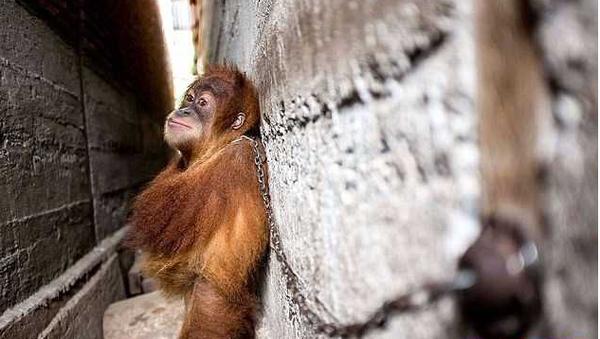 В Индонезии работники спасательного центра освободили прикованного к стене детёныша орангутанга