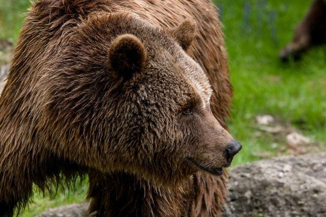 СМИ: в Москве голодный медвежонок отобрал у ребенка бутерброд с сыром