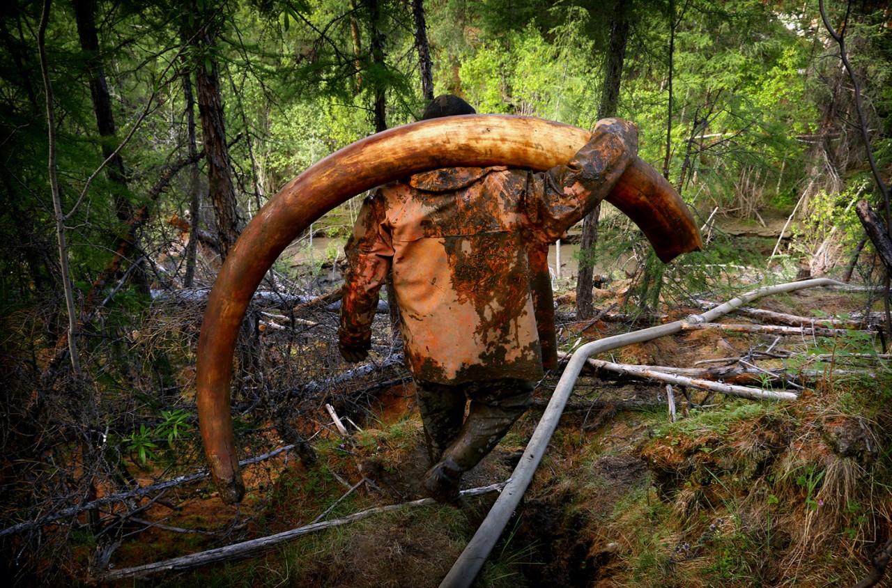 Золотая лихорадка: сибирские пираты раскапывают бивни мамонтов