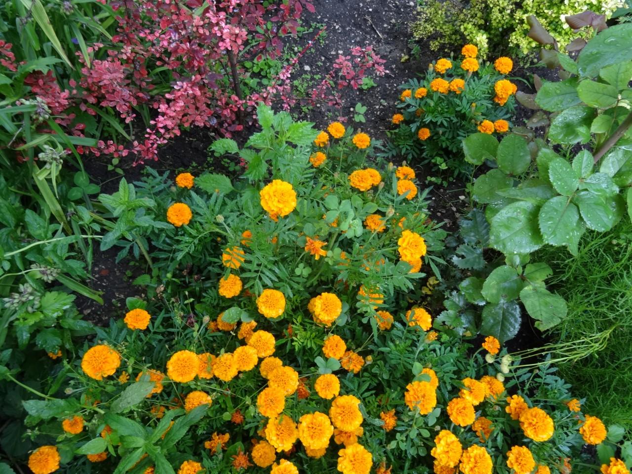 Лобелия: посев семян и выращивание рассады 40