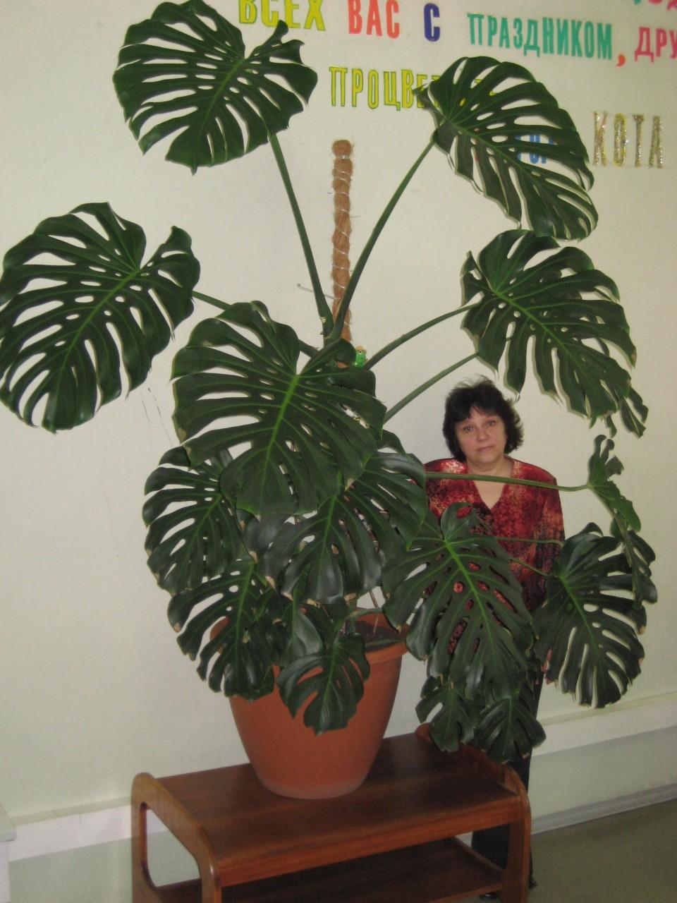 Домашнее растение монстера