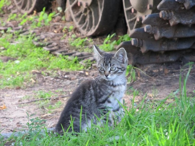 Бронедетство бронетехника, животные, коты