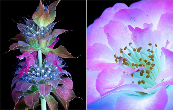 10 волшебных фотографий цветов, освещённых ультрафиолетом
