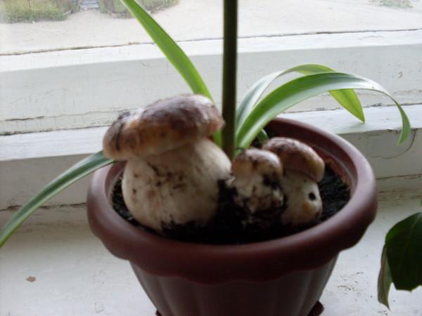 Как вырастить белые грибы дома на подоконнике