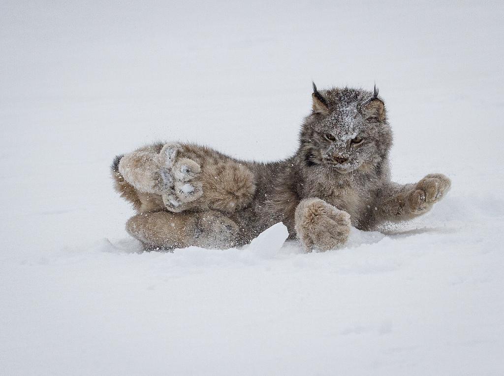 """""""Котик"""" с огромными лапками-снегоходами"""