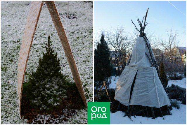 Защита хвойных от ожога зимой