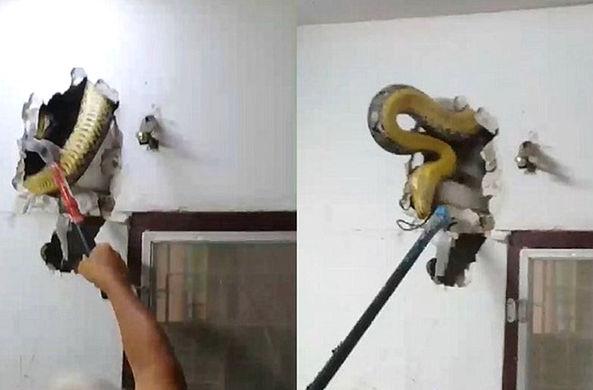 Огромный питон скрывался в стене гостиной
