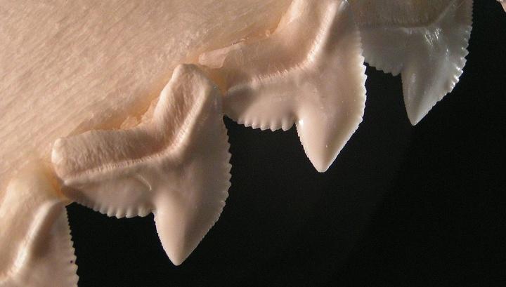 Биологи впервые отследили эволюционный путь зубов