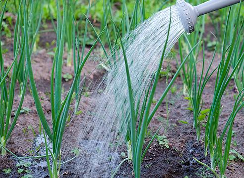 Когда правильно поливать лук