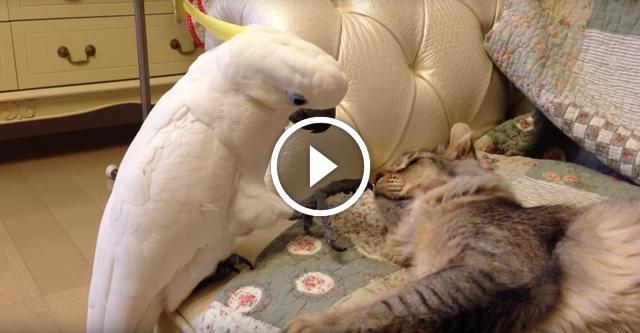 Стеснительный попугай с большой любовью будит кота
