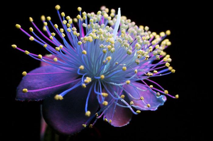 Красота цветка, освещённого ультрафиолетом.
