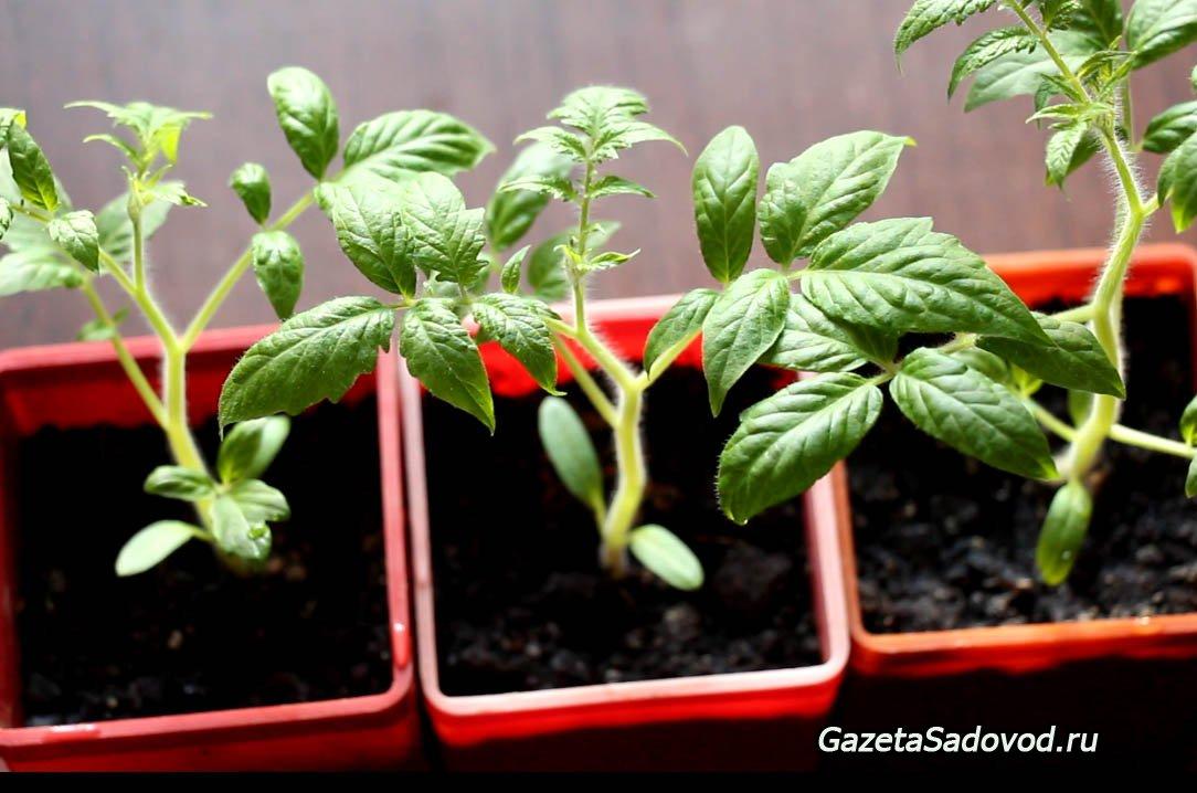Все о рассаде томатов для начинающих