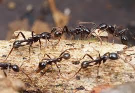Как избавиться от муравьев в квартире. Как избавиться от рыжих муравьев