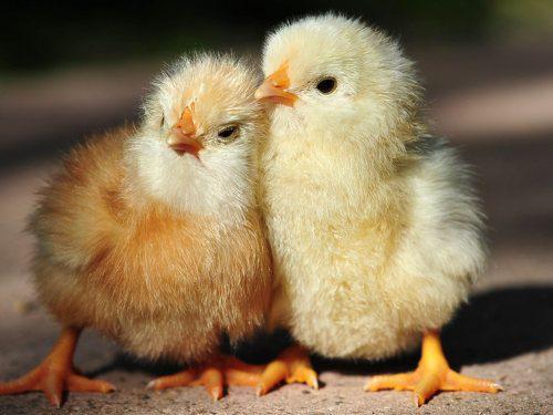В Минсельхозе России обсудили подпрограмму развития племенной базы птицеводства