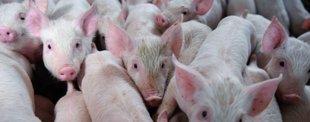 Свиночеловеки