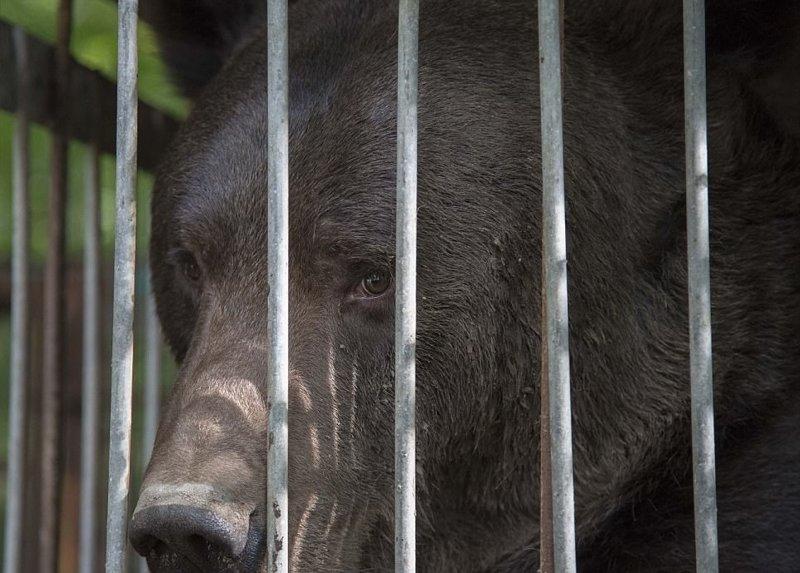 Счастлив впервые в жизни: освобождение медведя, который 16 лет использовался для притравки