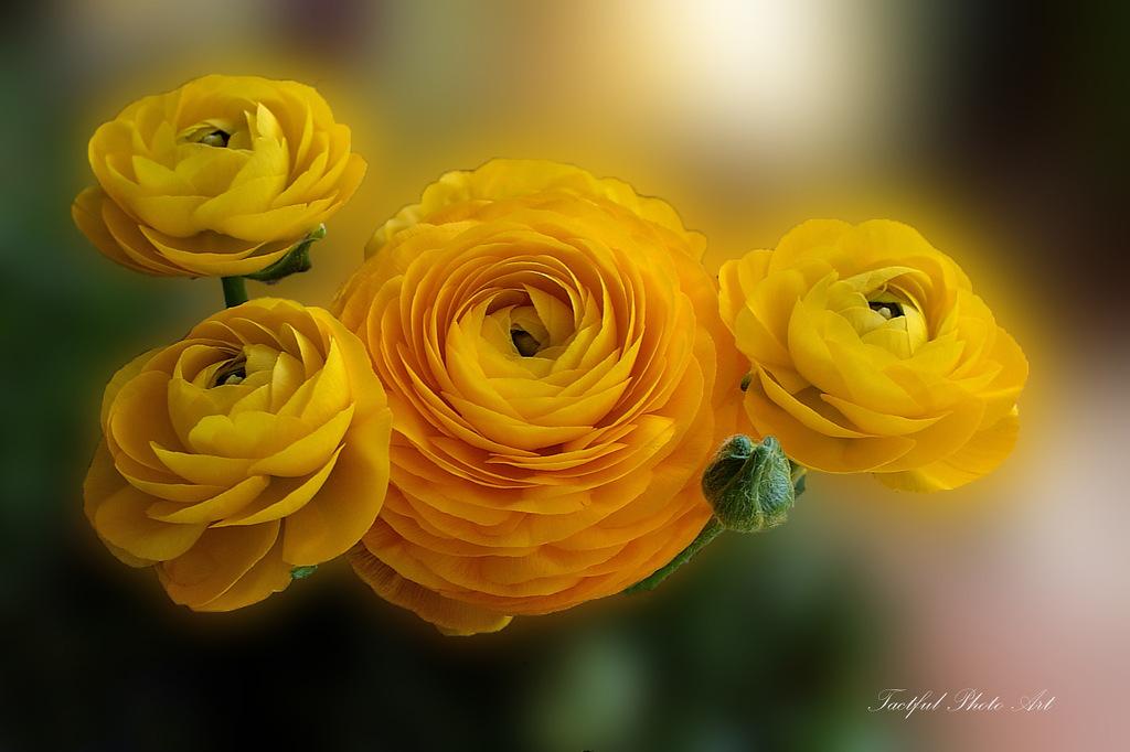 Азиатские лютики. Ранункулюсы — розы весны