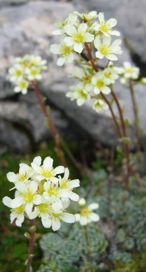 Цветок камнеломка: описание садовых и домашних растений