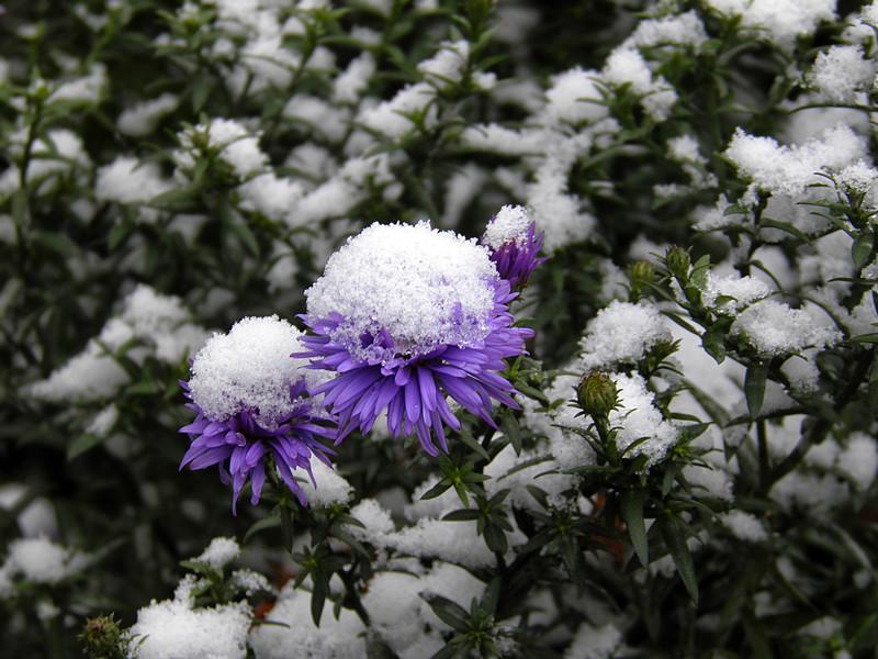 Причуды московского октября: от цветения сирени до первого снега. Фоторепортаж