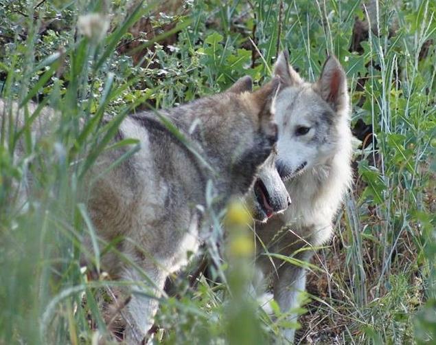 Спасенный метис волка нашел себе подругу