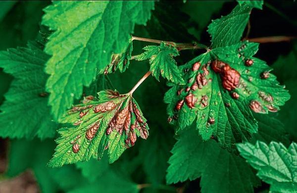 Дефицит того или иного элемента в питании растения приводит к нарушению обмена веществ.