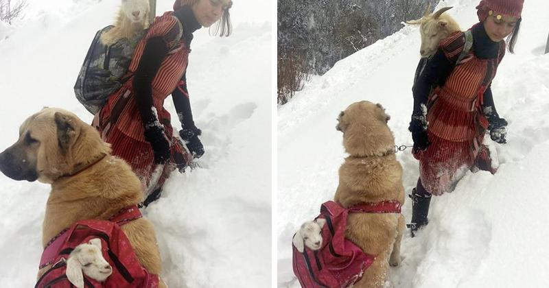 Девочка с собакой спасли козу с новорожденным козленком (8 фото)