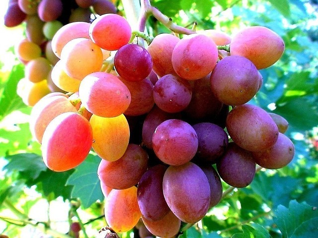 Пять правил выращивания хорошего винограда