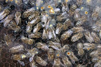Башкирию хотят оградить от чужих пчёл