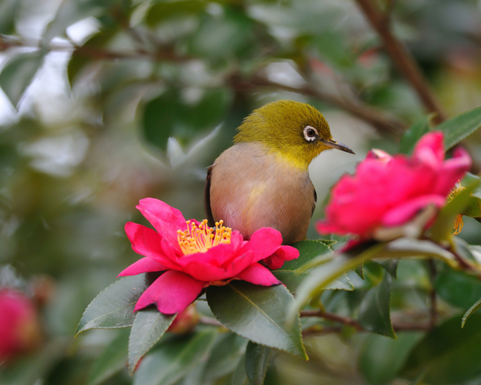 Камелия: сложный, но красивый цветок
