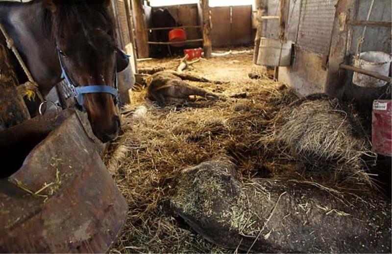 Лошади, брошенные на верную смерть зона отчуждения, радиоактивная зона, фото, фукусима, япония