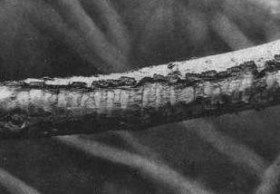 Поврежденное зайцем плодовое дерево