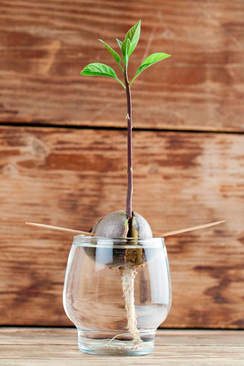 Экзотический огород прямо на вашем окне: как самостоятельно взрастить авокадо